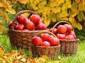 ვაშლის ჯიშები