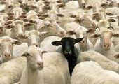 შავი და თეთრი ცხვრები
