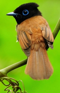 შემომწყრალი ჩიტი