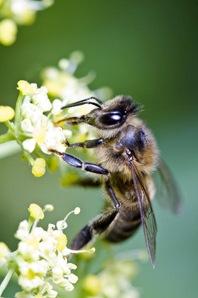 მეთორმეტე მეცადინეობა - ფუტკარი