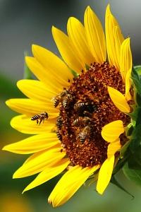 მეთორმეტე მეცადინეობა - ლექსები ფუტკარზე