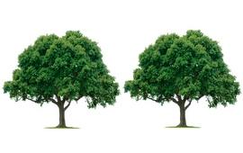 ორი ხე