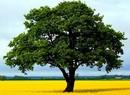 ნახატისა და ნაწერის გარჩევა - ხე