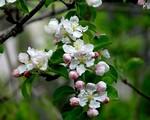 ვაშლი - დრუიდების ჰოროსკოპი