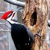 პირადი ფრინველი - კოდალა
