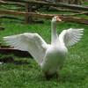 პირადი ფრინველი - თეთრი ბატი