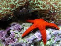 ზღვის ვარსკვლავი