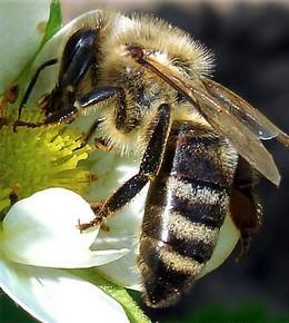 ფუტკრების შერჩევა აპითერაპიისთვის