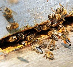ფუტკარი და ფუტკრის პროდუქტები