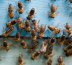 ყველაფერი ფუტკრისა და ფუტკრის პროდუქტების შესახებ