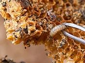 ფუტკრის ცვილი (ცვილის ჩრჩილი)