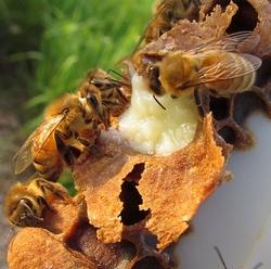 ფუტკრის რძე ხალხურ მედიცინაში