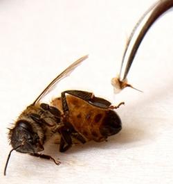 ფუტკრის შხამის მიღების ხერხები