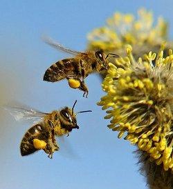 რა დაავადებებს კურნავს ყვავილების მტვერი?