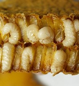 მამალი ფუტკრის ჰომოგენატი
