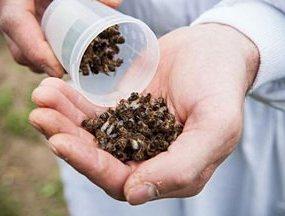 მკვდარი ფუტკრები - პოდმორი