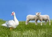 ცხვარი და ბატი